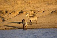 Waterbuck, Kobus ellipsiprymnus, Kruger National Park, South Africa.
