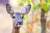 European Roe Deer, Capreolus capreolus, Corzo, Castilla y León, Spain, Europe.