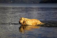 San Carlos of Bariloche, Rio Negro, Argentina. August 24 2018: Golden Retriever in the lake, Gutierrez Lake, Bariloche, Argentina.
