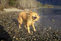 San Carlos of Bariloche, Rio Negro, Argentina. August 24 2018: Golden Retriever shaking to dry after getting into the water, Gutierrez Lake, Bariloche...
