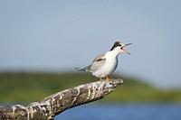 Common Tern (Sterna hirundo) juvenile perched on branch. Nemunas Delta. Lithuania.
