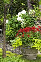Red Pelargonium - Geraniums with Ipomoea batatas - Morning Glory in planter and Hydrangea 'Annabelle' in backyard garden in summer.