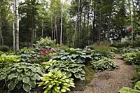 Cedar mulch path through borders with Hosta plants and red Astilbes in woodland backyard garden in summer.