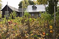 Vegetable garden and back of an old circa 1850 cottage style residential fieldstone home with blue trim in autumn.