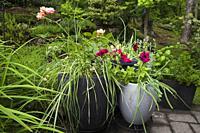 Planters with Allium fistulosum - Green Onions, Allium sativum - Garlic and purple annual flowers in backyard garden in summer.
