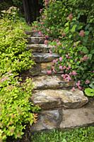 Natural stone steps bordered by pink Spiraea - Spirea and Hydrangea macrophylla 'Generale Vicomtesse de Vibraye' shrubs in backyard country estate gar...
