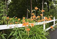 White painted wooden ranch style fence and orange Hemerocallis - Daylily flowers in front yard garden in summer.