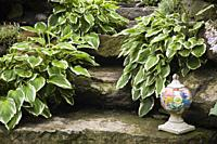 Checkered pattern decorative urn on natural stone steps bordered by Hosta plants in backyard garden in summer.