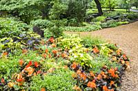 Summer border with orange Begonia, Colocasia esculenta - Taro, Hosta - Plaintain Lily plants and mulch path in summer, Centre de la Nature public gard...