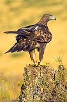 Golden Eagle, Aquila chrysaetos, Águila Real, Castilla y León, Spain, Europe.