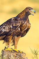 Golden Eagle, Aquila chrysaetos, Ã. guila Real, Castilla y León, Spain, Europe.