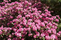 Close-up of pink flowering Rhododendron - Azalea shrub in spring.
