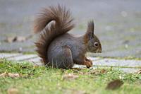 Red Squirrel, Sciurus vulgaris.