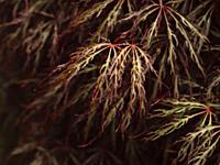 Close up of red and green toned foliage on Acer palmatum dissectum (weeping Japanese maple) tree.
