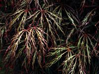 Close up of red and green toned leaves on Acer palmatum dissectum (weeping Japanese maple) tree.