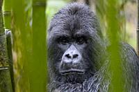 Mountain Gorilla (Gorilla gorilla beringei) large silverback male from the Sabyinyo group, portrait in bamboo forest and rain, looking into camera, Vo...