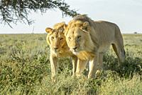 Two male lion (Panthera leo) brothers walking together on savanna, close by, Ngorongoro conservation area, Tanzania.