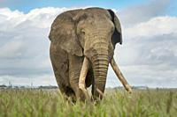 African elephant (Loxodonta africana) bull, walking close by, looking at camera, Amboseli national park, Kenya.