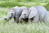 Two African elephant (Loxodonta africana) baby, eating and playing with grass on savanna, Amboseli national park, Kenya.