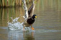 Mallard Drake-Anas platyrhynchos takes flight.
