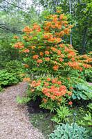 Orange flowering Rhododendron shrub, Hosta 'Dark Star' - Plaintain Lily, Anemone rupicola in border next to mulch footpath in late spring, Shade Garde...