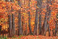 Chesnut forest in Cazalla de la Sierra. Sierra Norte de Sevilla natura park.