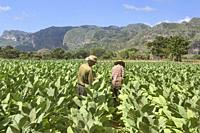 Working the tobacco fields, Viñales, Cuba.