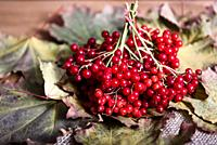 red viburnum berries on a branch on the table with leaves.