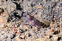 Wide-barred shrimpgoby, Amblyeleotris latifasciata, Lembeh Strait, North Sulawesi, Indonesia, Pacific.