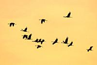 Flock of cranes flying at twilight (Grus grus) Badajoz province. Extremadura. Spain
