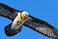 Bearded Vulture / Laemmergeier ( Gypaetus barbatus ), Lammergeier, Ossifrage, carrying a bone in its talons, holding prey, Swiss alps, wildlife, Europ...