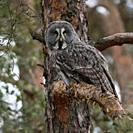 Great Grey Owl / Bartkauz ( Strix nebulosa ) perched in a pine tree, hunting, watching, well camouflaged. .