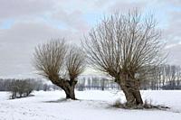 Old pollard willows ( Salix sp. ) on a frosty winter morning on snow covered farmland, Lower Rhine region, North Rhine Westfalia, Germany.