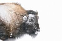 American Bison / Amerikanischer Bison ( Bison bison ) in winter, headshot, covered, crusted with ice and snow, during a blizzard, strong wind, heavy s...