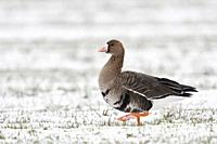 White-fronted Goose / Blaessgans ( Anser albifrons ) in winter, arctic goose, walking over snow covered farmland, wildlife, Europe.