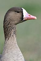 Greater White-fronted Goose / Blaessgans ( Anser albifrons ) detailed close-up, portrait, headshot, frontal view, wildlife, Europe.