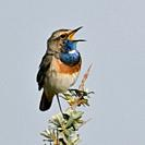 White-spotted Bluethroat ( Luscinia svecica ) adult male, perched on seabuckthorn, singing, wildlife, Europe.