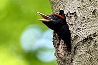 Black Woodpecker ( Dryocopus martius ) young male in its nest hole, almost fledged, begging for food, calling loudly, wildlife, Europe.