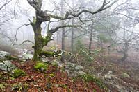 Oaks with moss, leaves, stream and fog at Graja gorge in Sierra de Gredos. Avila. Spain. Europe.