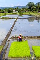 An Indonesian Woman Working In The Rice Fields, Yogyakarta, Java, Indonesia.