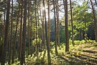 Pine forest, Guadarrama National Park, Rascafria, Madrid, Spain.