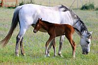 Mare with her foal. Olivenza. Badajoz province.Extremadura. Spain