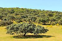 Oak holm in dehesa (Quercus ilex) Zafra. Badajoz province. Extremadura. Spain