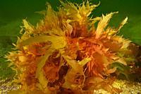 Red seaweed (Calliblepharis ciliata). Eastern Atlantic. Galicia. Spain.