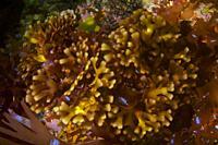 Red seaweed. Norwegian Fan Weed (Gymnogongrus crenulatus). Eastern Atlantic. Galicia. Spain. Europe.