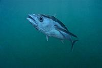 Albacore tuna fish. Longfin tuna. Long finned tuna. White tuna (Thunnus alalunga). Eastern Atlantic. Galicia. Spain. Europe.