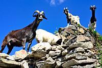 Goats over a wall in Murshkeli, Mestia, Svaneti, Georgia