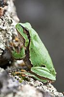European tree frog (Hyla arborea), Extremadura, Spain
