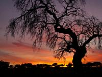 Sunset with tree silhouette. Albuquerque. Badajoz. Extremadura. Spain
