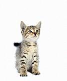 Gray striped Kitten on a white background, Small predator,.